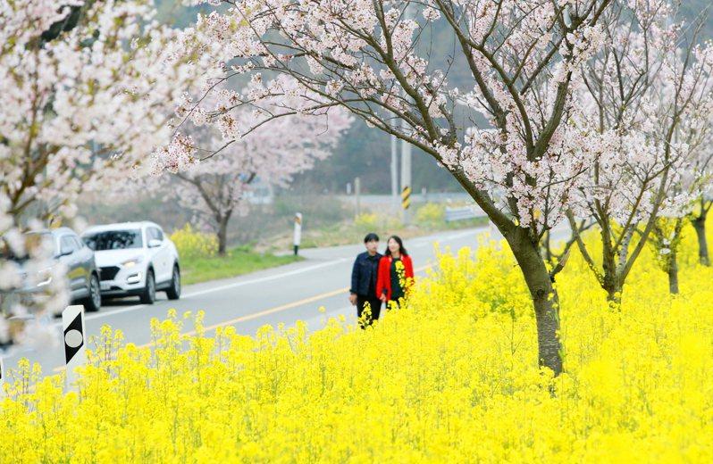 南韓民眾18日在首爾南方100多公里的泰安郡欣賞櫻花和油菜花。(歐新社)