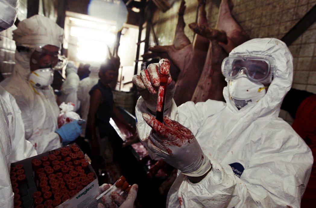 圖為印尼雅加達在養豬場進行H1N1的採檢。 圖/歐新社