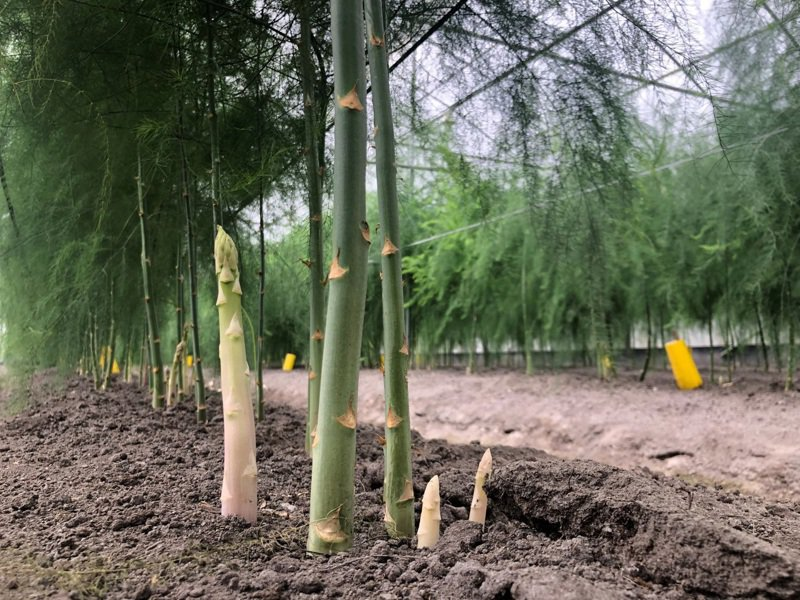 剛出土的白蘆筍嫩莖。圖/農委會台中農改場提供