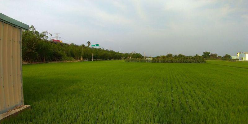 水稻正值營養生長期,若施肥不足,將影響孕穗。記者簡慧珍/攝影