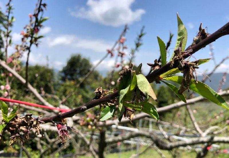 新竹縣山區在4月13、14日受強烈大陸冷氣團低溫影響,山區出現攝氏負2度低溫,造成水蜜桃樹凍傷而受損。圖/新竹縣府提供