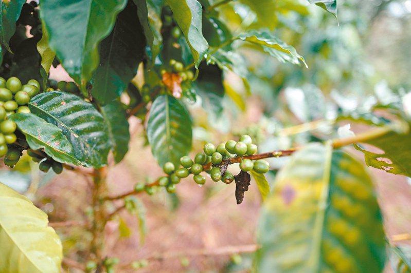 Trinidad雖然是哥倫比亞咖啡種植的先驅之一,但曾經荒廢了一、二十年,有了新一代的接手,才重展新姿。 圖/謝嫣薇提供