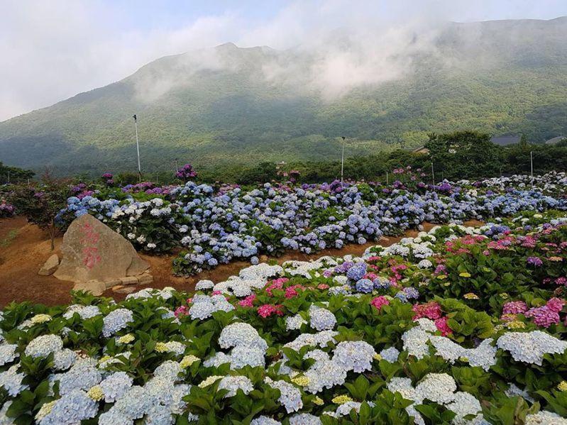 位於萬里的最新園區佔地超過8000坪,官方強調寬敞適宜維持社交距離,民眾可安心賞花。圖/高家繡球花田