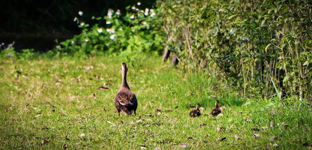 園區內悠悠自在的野鴨一家人。