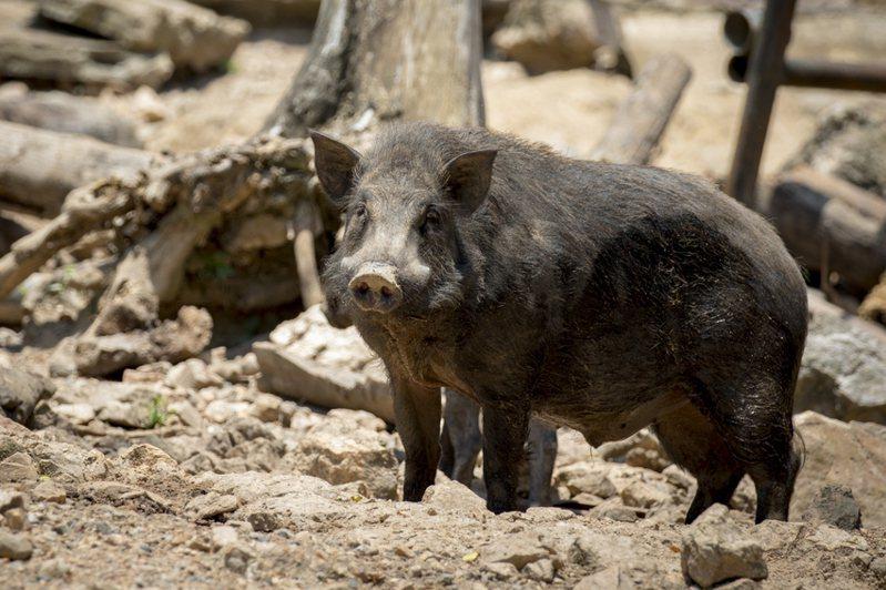 福島地區核災變後八、九年來,野豬暴露的人工核種放射性強度仍然很強。示意圖/ingimage
