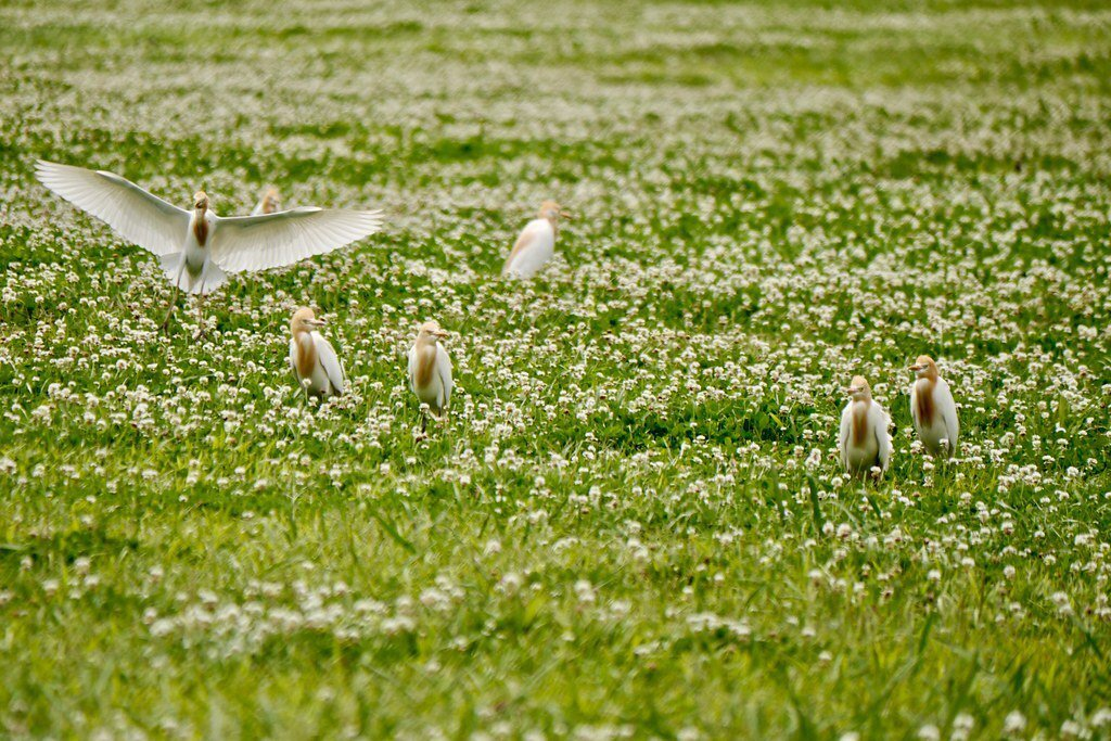 鳥兒的天堂,新北大都會公園草坪上處處可見,鳥兒群飛