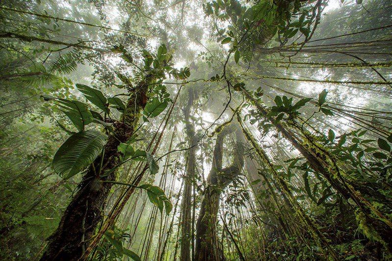 地球之肺/這片熱帶森林位於印尼西巴布亞省的阿爾法克山自然保護區內,保護這類森林對地球的健康至關重要。這些森林進行的光合作用占地球的60%,林中樹木生長時每年會吸收數十億公噸的二氧化碳,包括人類燃燒化石燃料的一些排放量。但是森林被砍伐或焚燒時就會把這些碳釋放出來。保護這些巨大的「固碳櫃」可能會是因應氣候變遷最具成本效益的解決方案。 攝影:TIM LAMAN