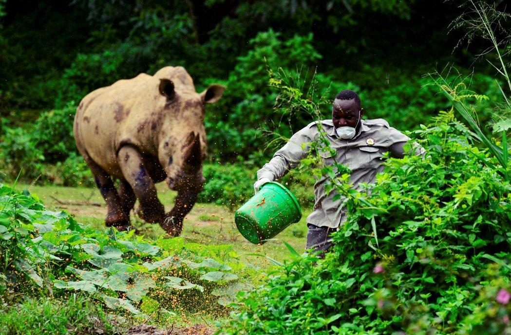 UWEC的飼育員,餵完犀牛之後拔腿快跑的場面。 圖/路透社
