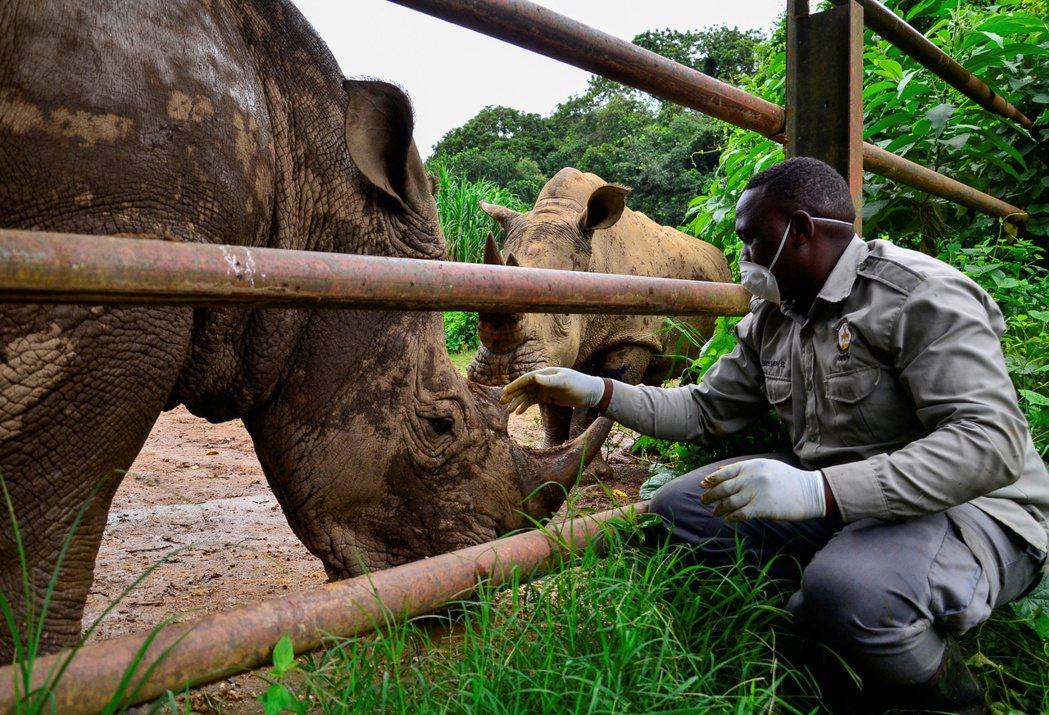 照顧犀牛的飼育員布蘇魯瓦(Steven Busulwa)語帶興奮地說,現在沒什麼...