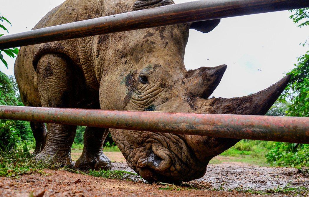 南白犀分布多在南非,預估至少還有2萬頭,目前在UWEC保育中的南白犀則只有2頭。...