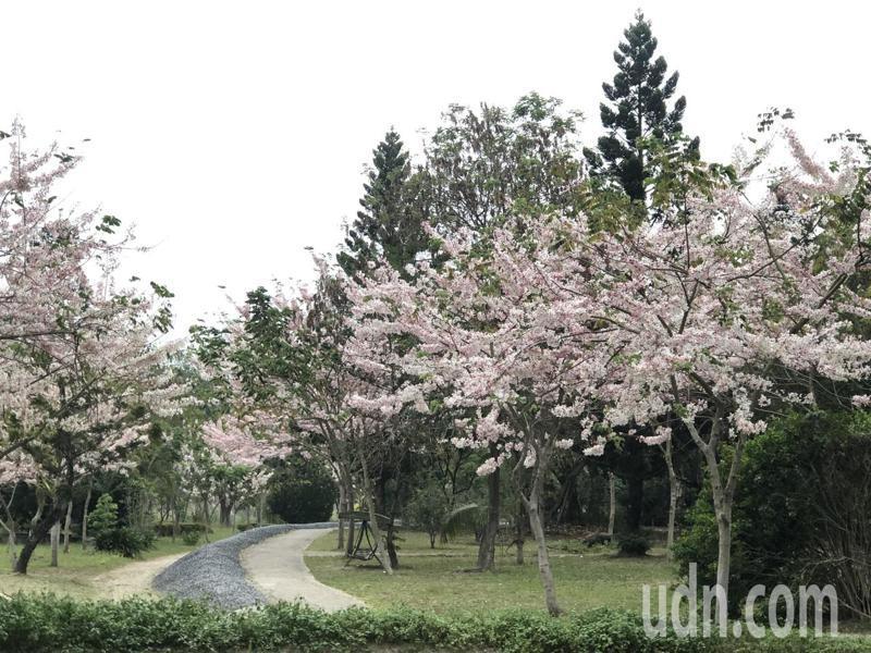 竹崎鄉親水公園完工提前開放,上千棵粉紅花旗木綻放,夢幻美景。記者魯永明/攝影
