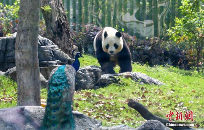 武漢動物園內的熊貓春俏在3個月內胖了五公斤。圖/取自中新網