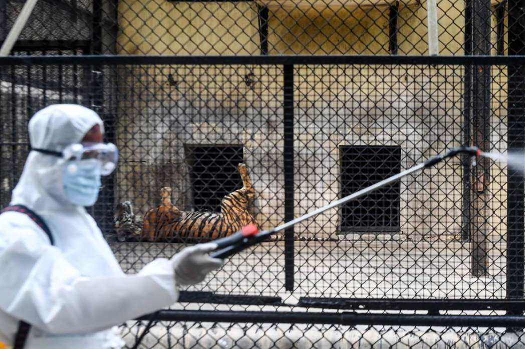 直到4月初,美國紐約市布朗克斯動物園的馬來虎——娜迪亞(Nadia)——測出病毒...