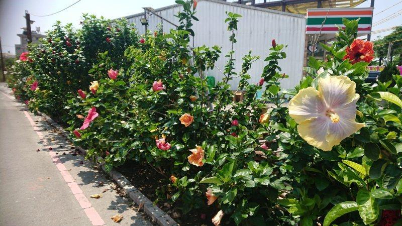 發呆亭圍牆外,一年四季都有扶桑花遞次盛開。 圖/簡慧珍 攝影
