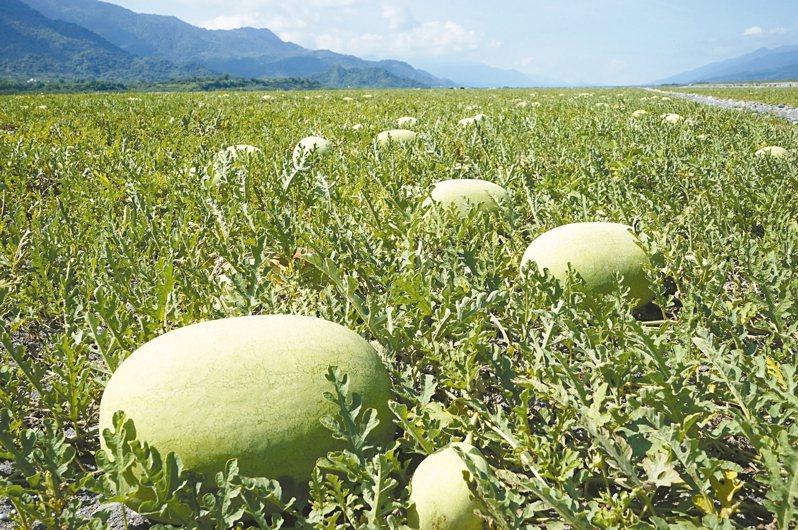 西瓜價錢大跌,陳吉仲表示,考慮讓全國茶飲料業榨西瓜汁。本報資料照片
