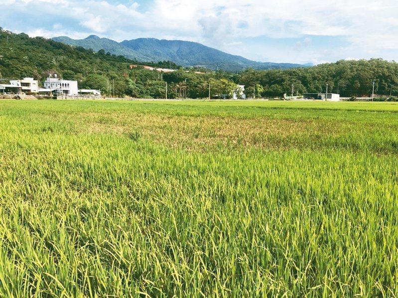 稻熱病主因就是天氣忽冷忽熱,還有農民認為是受到閏四月影響,稻米產量才不好。 圖/玉溪地區農會提供