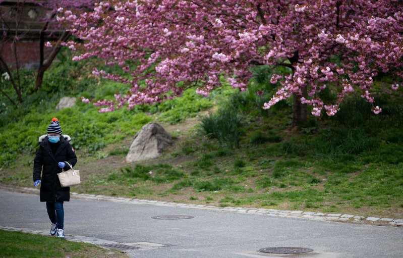 春天是中央公園櫻花盛開的季節,紐約人卻已無悠閒賞花的興致。法新社