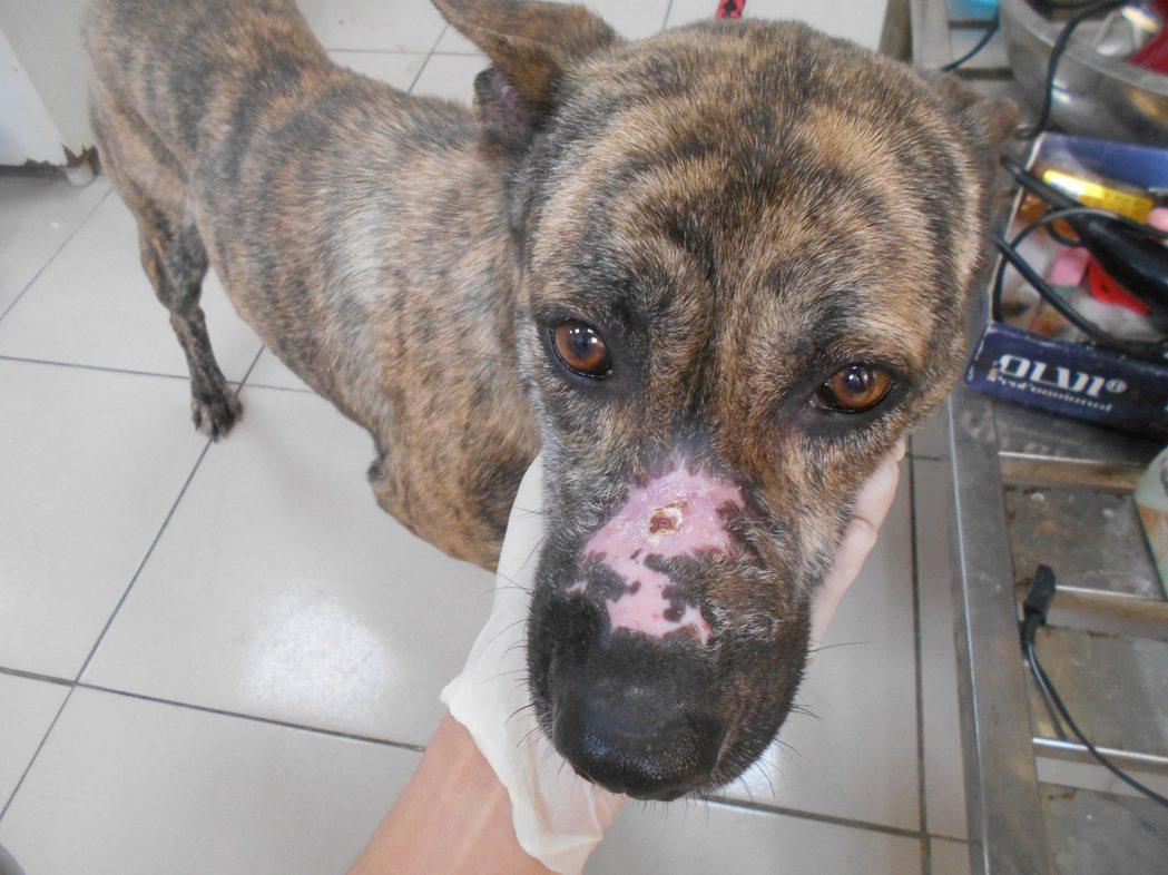 被棄養的「小虎」因狗嘴套造成鼻梁嚴重外傷,治療1個月後才完全康復。圖/新北市動保...