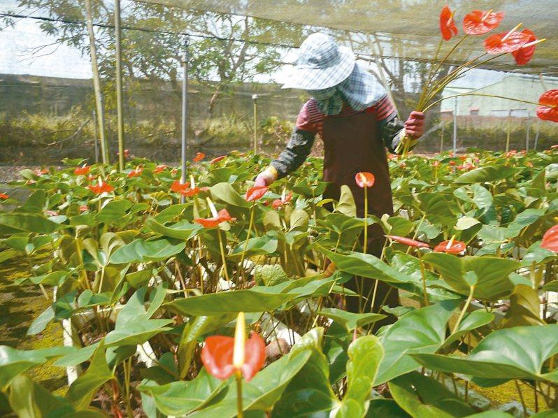 高雄內門種植火鶴花,疫情導致外銷空運成本變高,許多花農努力求生存。 記者徐白櫻/攝影