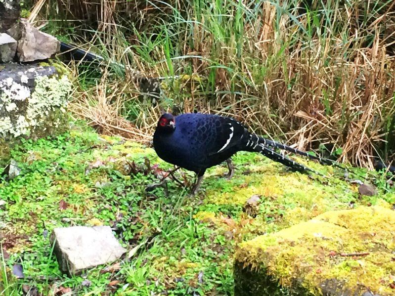 台灣帝雉(黑長尾雉),是所有台灣特有種鳥類中體形最大、羽色高貴因而選為「國鳥」。圖/玉管處提供