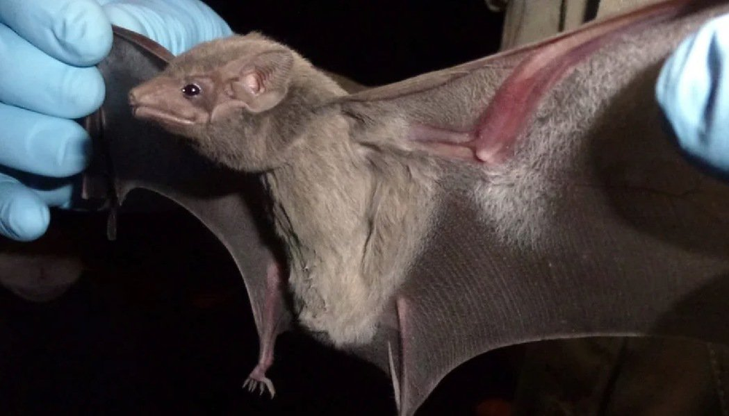 新型肺炎延燒全球,關於新冠病毒來源目前眾說紛紜,部分專家認為來自於蝙蝠類群。中原...