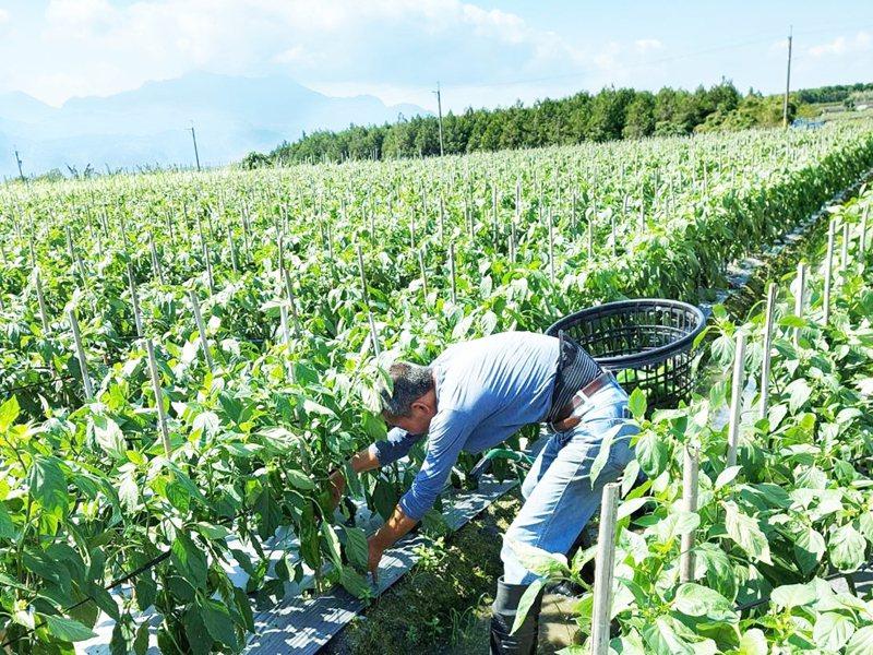 台東縣鹿野鄉農民吳宗榮種植青椒面積有3分地,從27日開始採收,因新冠疫情影響,乏人問津。記者羅紹平/翻攝