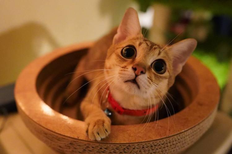 李厚豪養的流浪貓變成網紅貓。圖/李厚豪提供