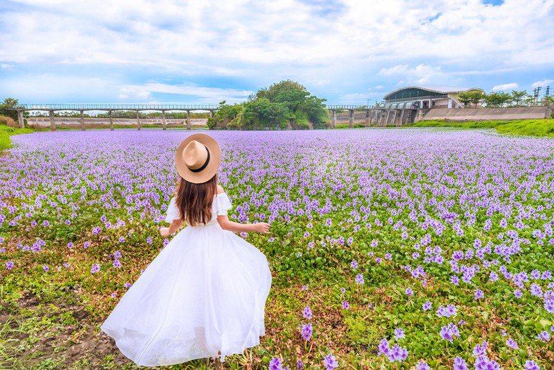 雲林大埤的滯洪池近日化身「粉紫色夢幻湖」,吸引攝影玩家們前去搶拍。圖/IG@molly888666授權