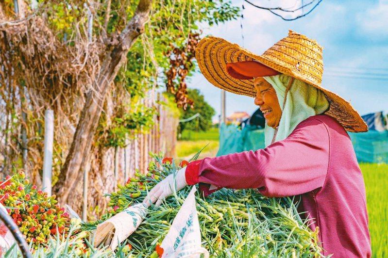 嘉義市政府向市農會花卉產銷班購買3萬4千株康乃馨,稍解花農滯銷壓力。 記者李承穎/攝影