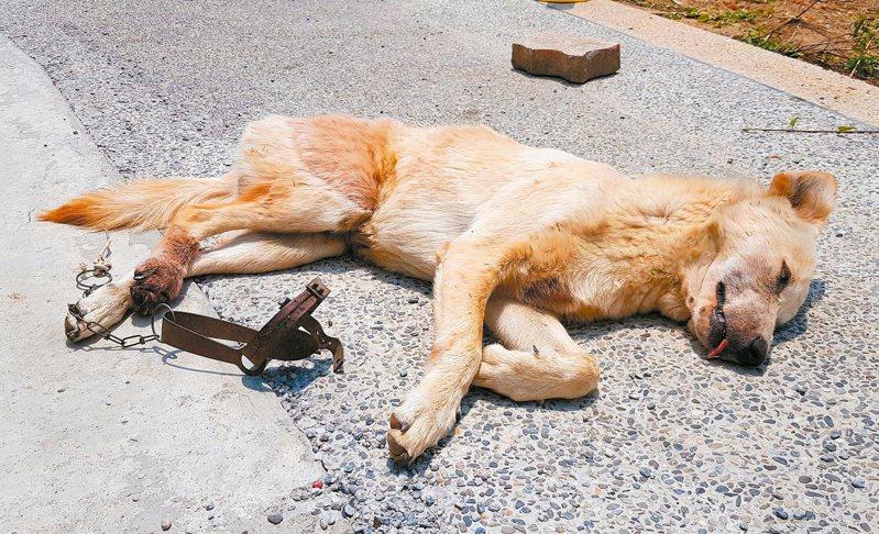 這隻被捕獸夾夾傷右後腳的浪浪,不時哀鳴,好心人通報動物救援小組營救。 圖/台灣動物緊急救援小組提供