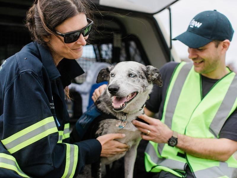 貝兒幫助澳洲救難人員在野外尋找倖存的無尾熊。圖擷自Leader