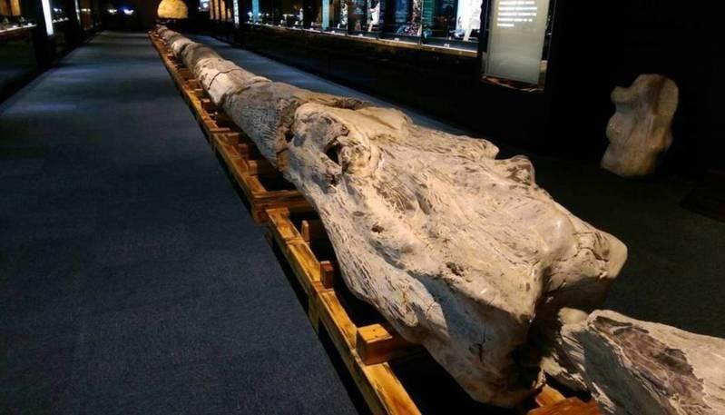 綺麗珊瑚博物館展出各式珍奇寶石,入口處一根號稱世界最長的木化石是「鎮館之寶」,長達36公尺,以20節段呈現;但博物館現在暫停營業,看不到了。本報資料照
