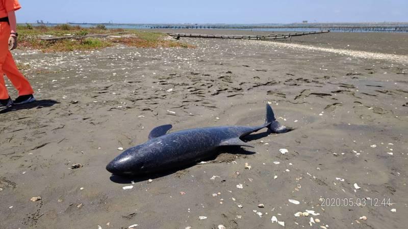 嘉義縣布袋第三漁港外沙洲昨天上午10時許一隻小虎鯨擱淺無生命跡象,經現場解剖初步研判為溺水死亡。圖/海巡署提供