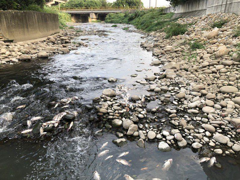 桃園市茄苳溪永安至宏太橋河段間昨天下午驚現大量死魚。圖/桃園市環保局提供
