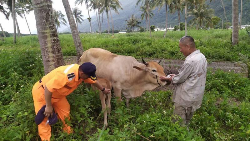 第二機動站士官長鍾智雄今天看到母子均安,小牛正在喝奶十分欣慰。圖/海巡署東部分署提供