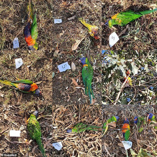 專家說,新發現的鸚鵡癱瘓綜合症已經殺死了數百隻鳥類。圖為布里斯本一棵樹下被發現死亡的鸚鵡。圖擷自每日郵報