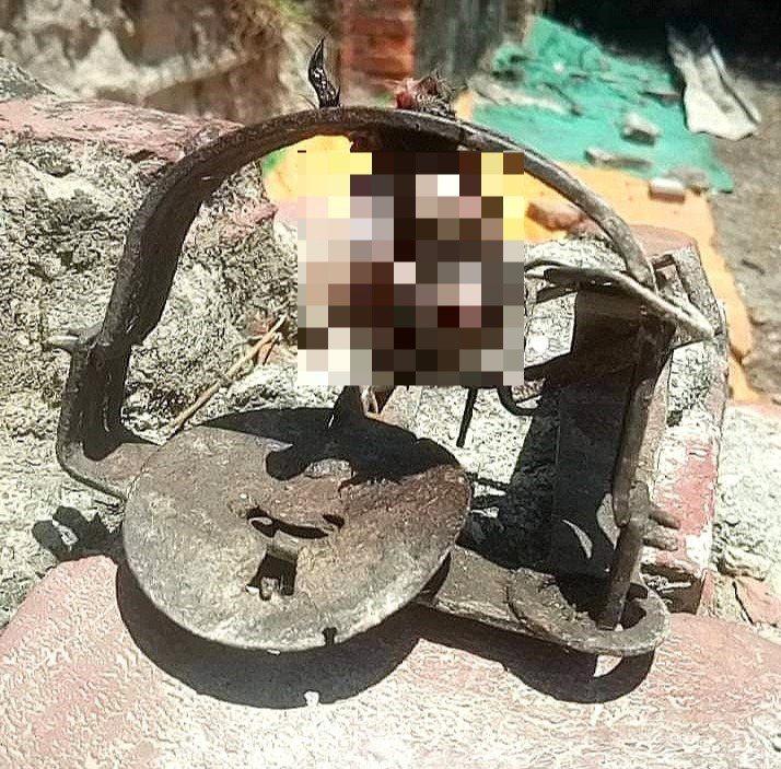 台灣動物緊急救援小組獲報在前鎮區鎮州路270巷有人放置捕獸夾,獸夾上只剩下貓的斷掌和白骨腐肉。圖/台灣動物緊急救援小組提供