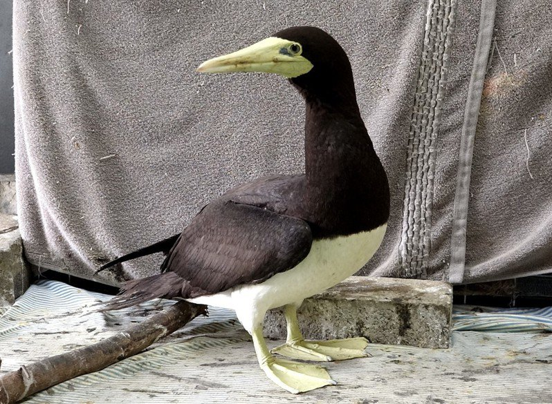 台北市立動物園3月初接獲林務局通報,收容一隻白腹鰹鳥「妹妹頭」,緊急檢傷後發現右翅骨折。圖/台北市立動物園提供