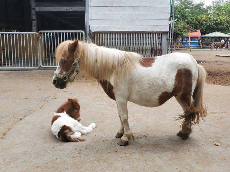 母親節將至,台南學甲頑皮世界野生動物園針對媽媽們推出優惠活動,圖為園區新出生的迷你馬,相當可愛。記者謝進盛/翻攝