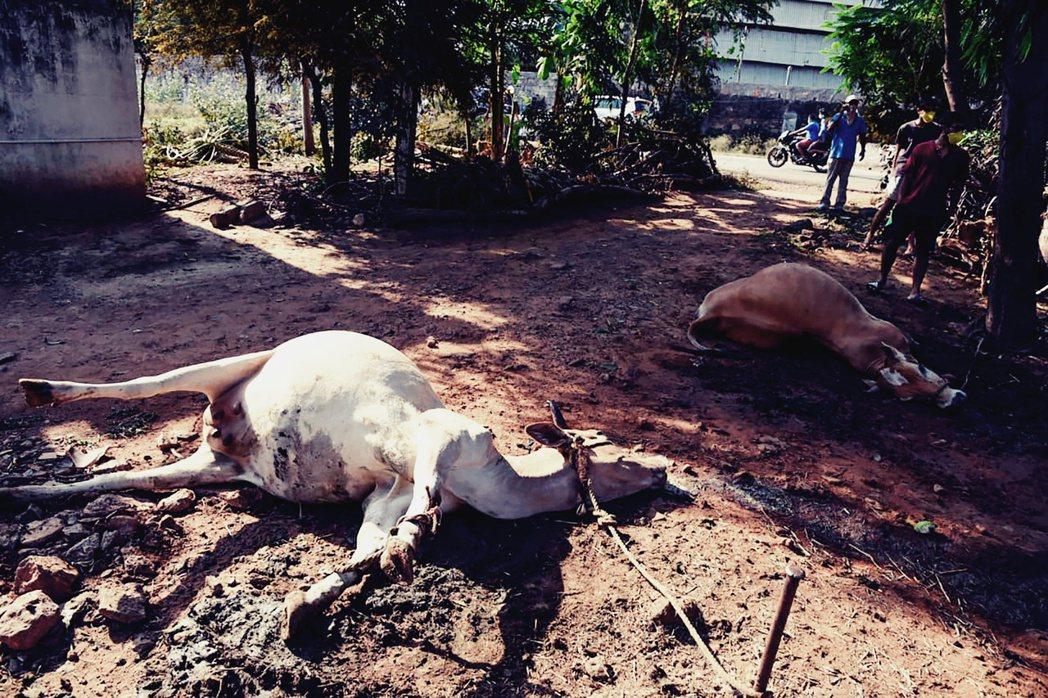 在印度媒體與政治人物的轉傳畫面中,可以看到許多牛、羊、與人類,成群倒斃在馬路中央...