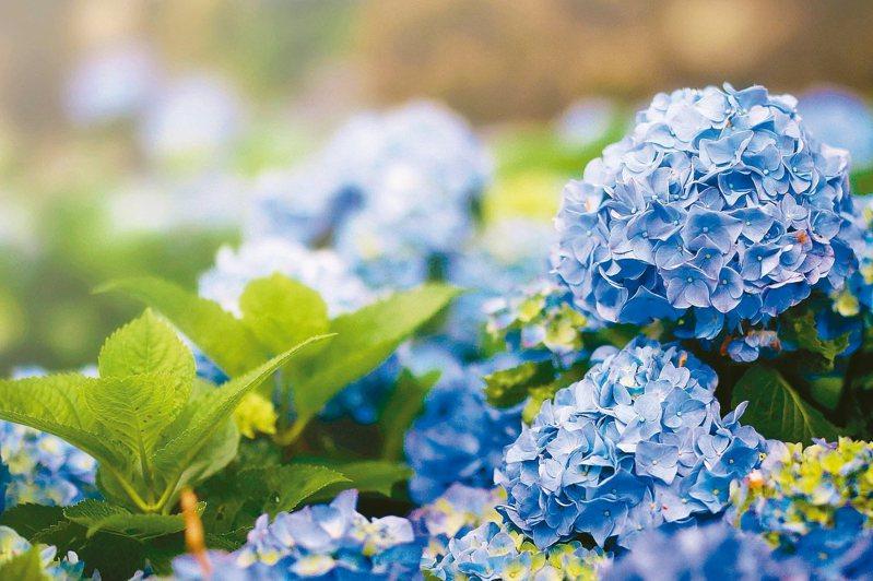 陽明山竹子湖繡球花陸續綻放,本月9、24、30、31日共4天舉辦音樂會。 圖/產業局提供