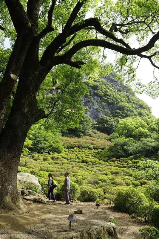 杜鵑花谷前小平台,一棵超過三百年樹齡的巨型大楠樹。