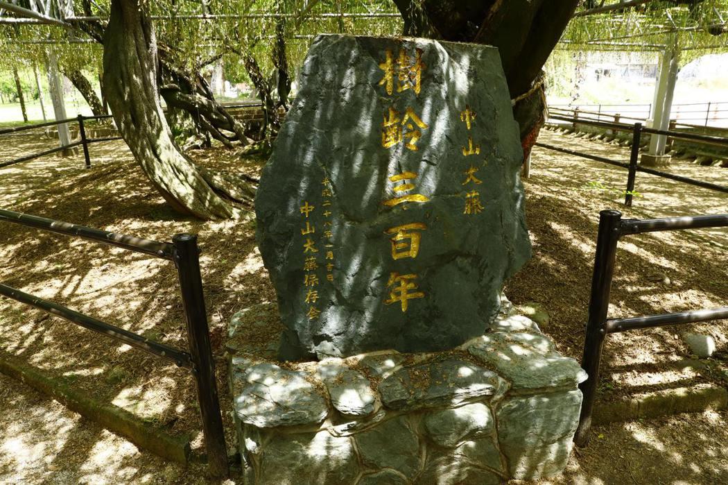 熊野神社境内 中山大藤