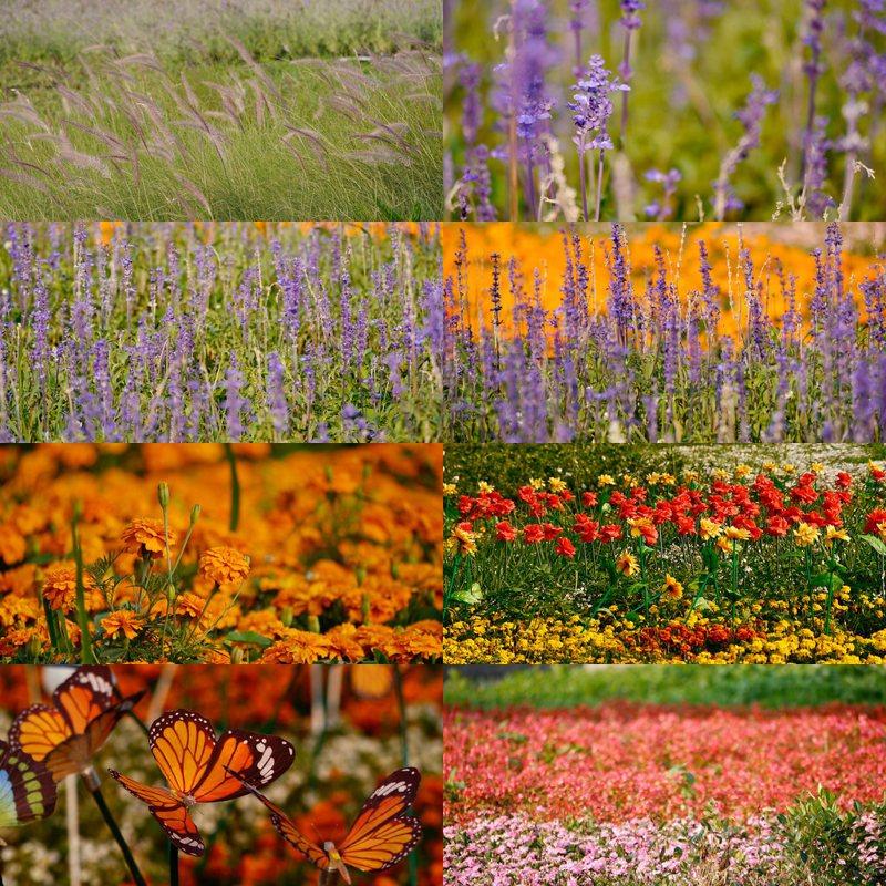 「2020新北河濱蝶戀季」以「蝶舞情深」為地景主題,超過2000平方公尺的植物區,種滿鮮艷一串紅、粉色四季秋海棠、紫色鼠尾草、白色的瑪格莉特等各色花朵,共20萬株的漸層花海。