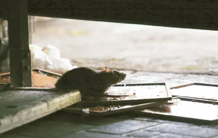 台灣港務公司今天證實宜蘭蘇澳港的老鼠驗出漢他病毒,已要求進港商船落實鼠盾設置,並...