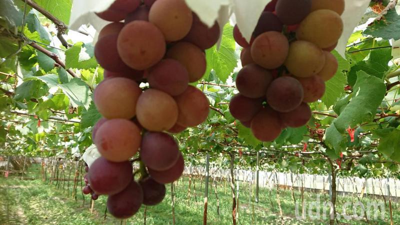 彰化縣黃金葡萄甜度達20,5月底第還有一批上市。記者簡慧珍/攝影