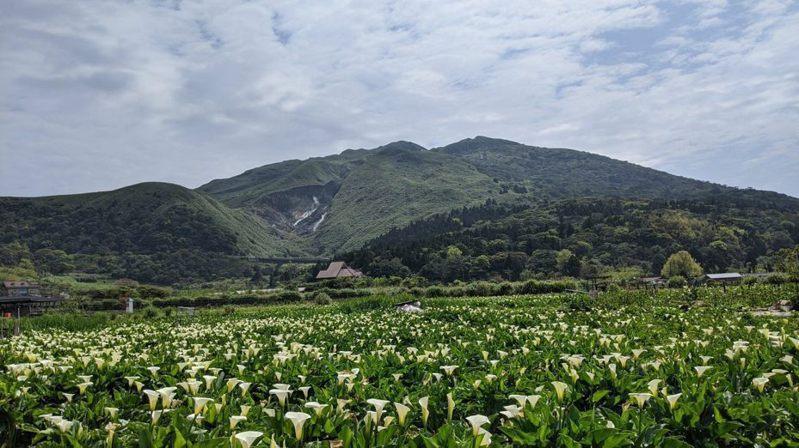 陽明山海芋與繡球花季已開跑。圖/本報資料照