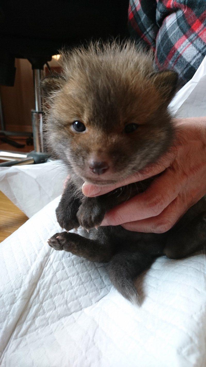 北海道網友在國道旁撿到幼犬,結果是隻小狐狸。圖取自twitter