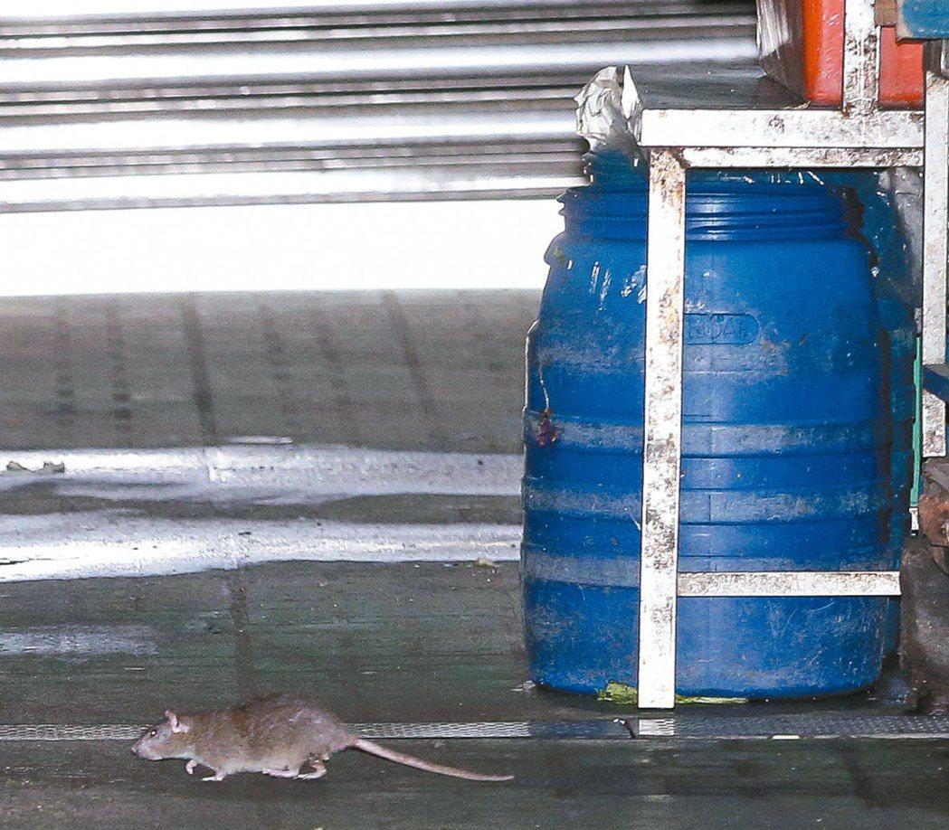 基隆、新北都傳出漢他確診病患,北市議員憂心許多公園、市場內仍可隨處見到亂竄的老鼠...
