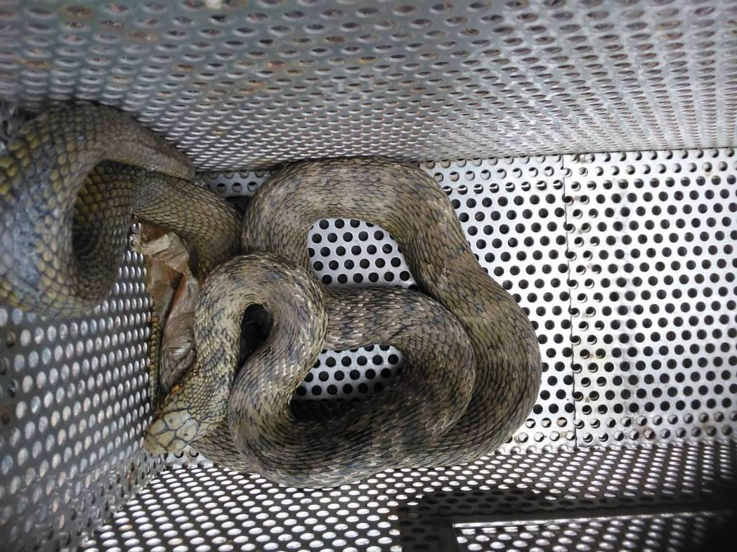 俗稱臭青母的王錦蛇。圖/新北市動保局提供